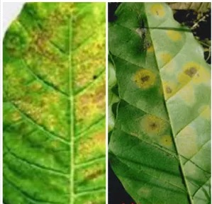 How to Treat Flour condensate (Oidium) in Rubber Plants