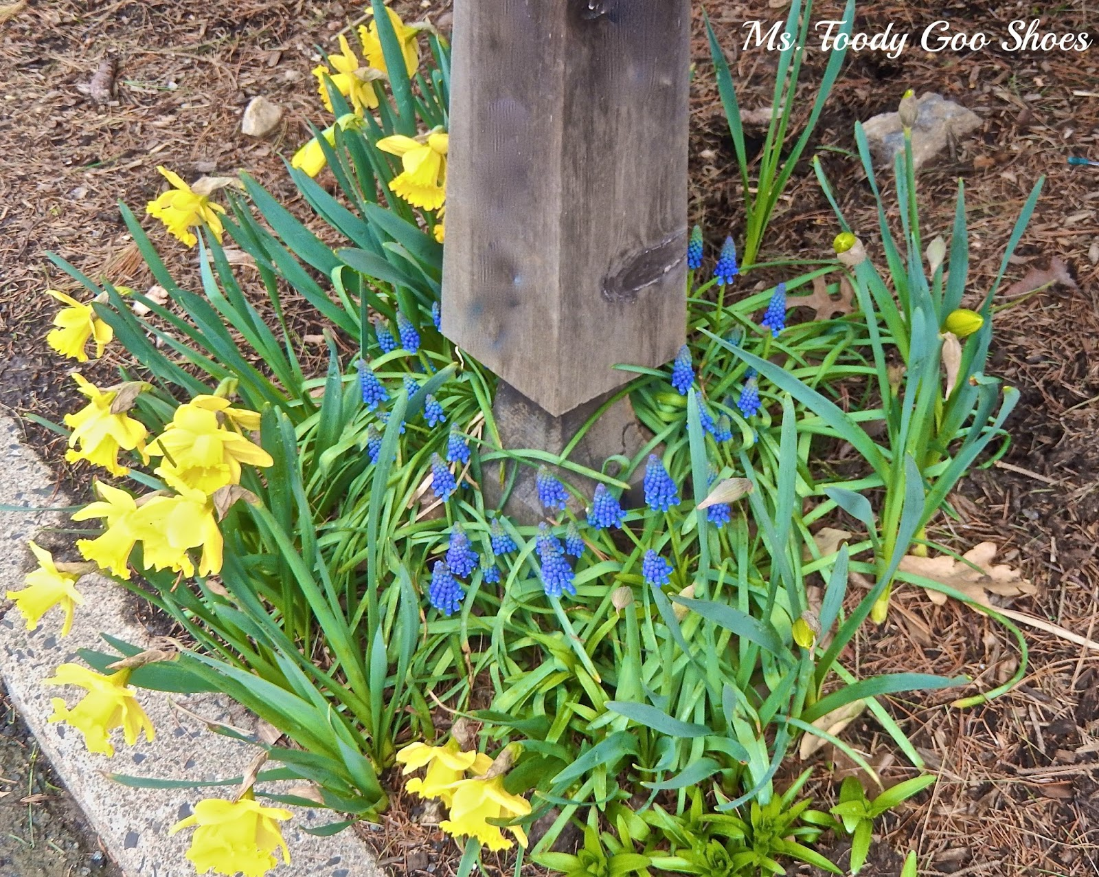Spring Around The Mailbox: Yellow Daffodils & Purple Grape Hyacinths are a perfect combo   --- Ms. Toody Goo Shoes