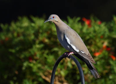 Photo of a White-winged Dove at a bird feeder