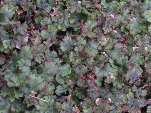 Meijer Gardens liverwort