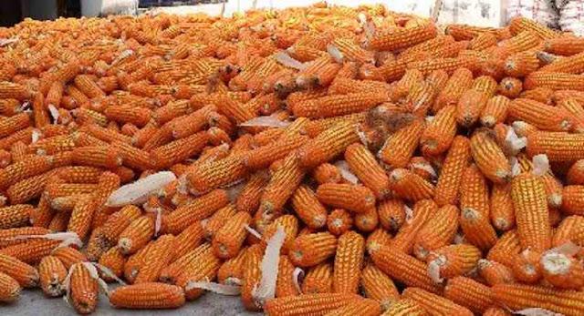 Jenis jagung hibrida untuk pakan ternak