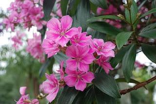 quaresmeira-de-flor-rosa