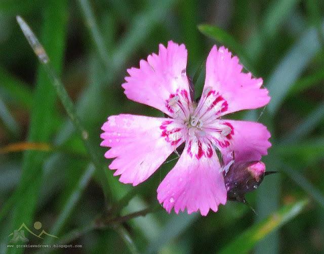 Goździk lśniący (Dianthus nitidus Waldst. & Kit.)