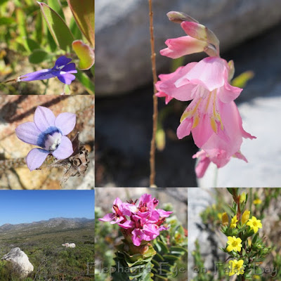 Steenberg Ridge Silvermine March flowers