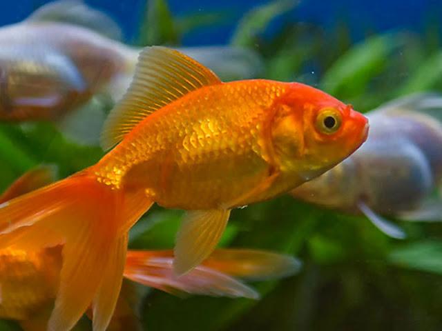Order Supplier Jual Ikan Mas Hias & Bibit Kupang, Nusa Tenggara Timur