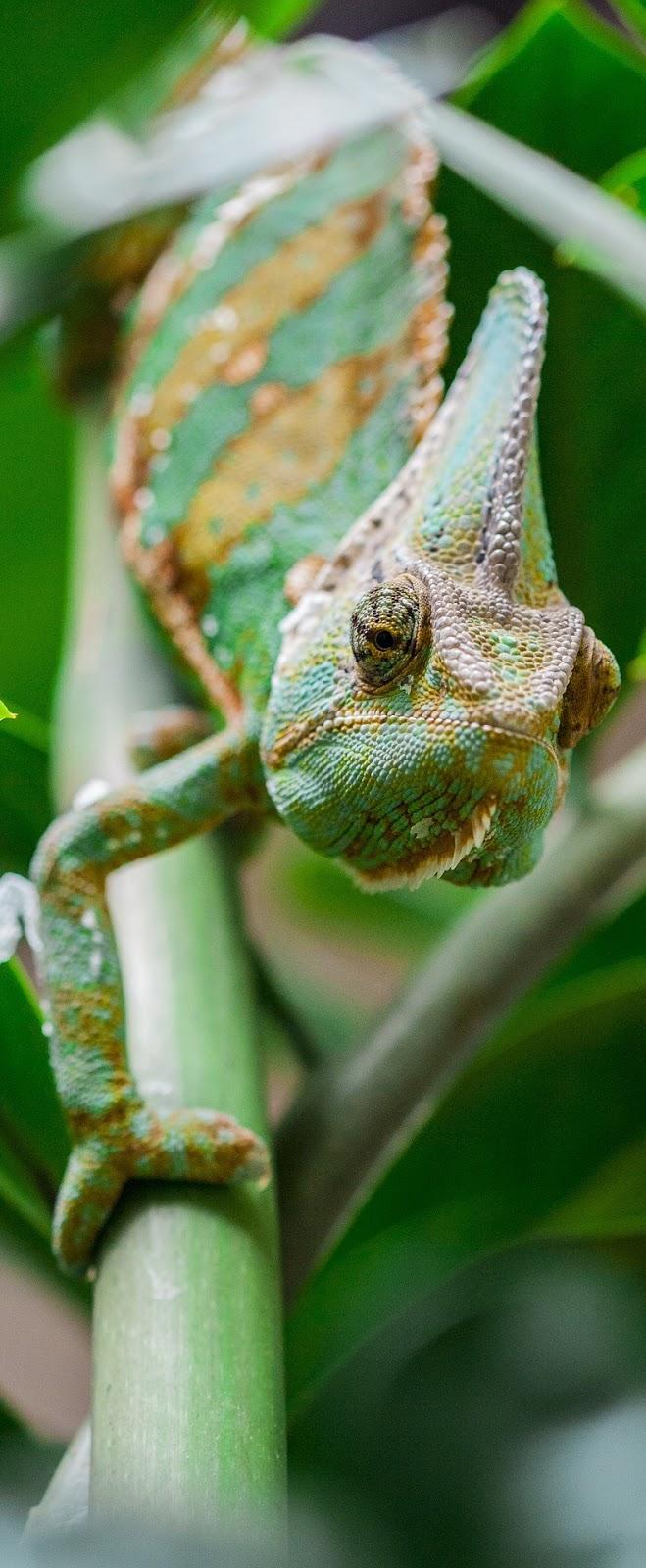 Photo of a chameleon.