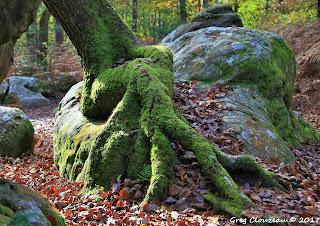 Pied de Chêne, Fontainebleau