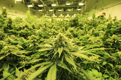 commercial cannabis growing operation