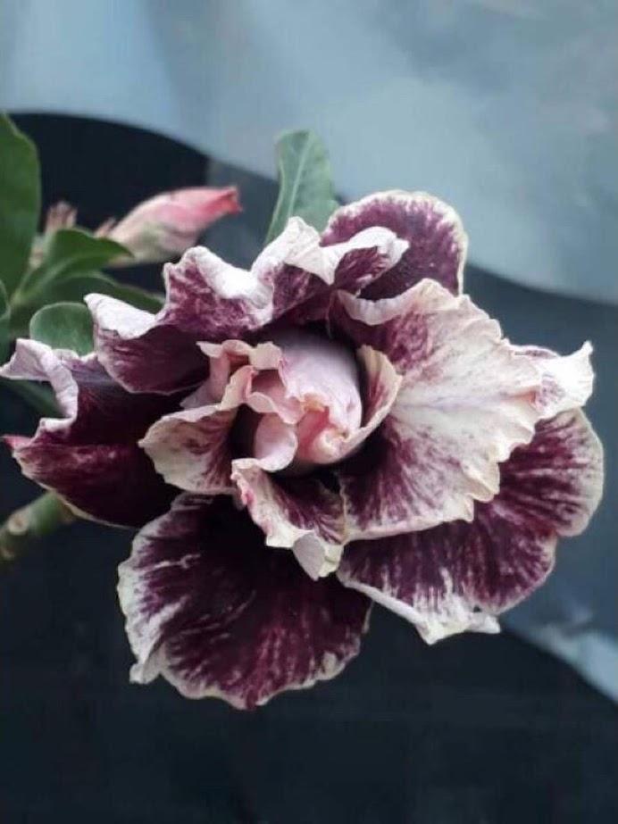 PROMO Paket 5 jenis warna bunga pohon kamboja jepang adenium tanaman hias bibit biji Makassar