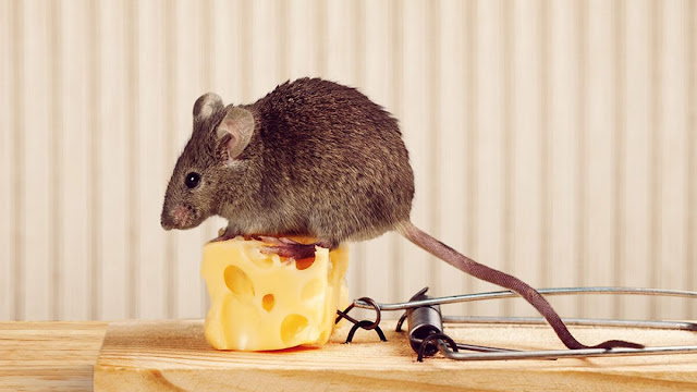 What-to-Put-on-Mice-Traps