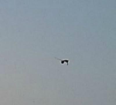 Снимка на летяща манта (скат)? SAS%2BRays3