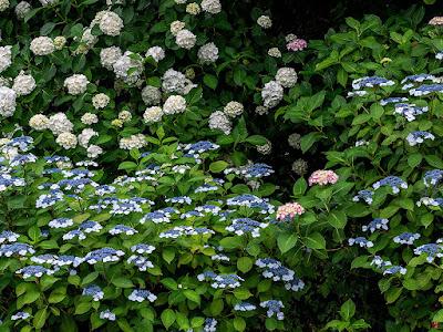 Ajisai (Japanese hydrangea) flowers: Chojyu-ji