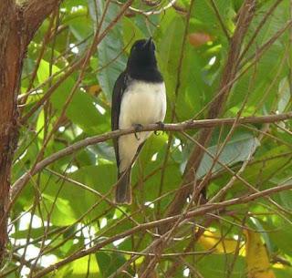 Kancilan Kepala Hitam atau black-headed whistler (Pachycephala monacha) adalah spesies burung pengicau dari keluarga Pachycephalidae