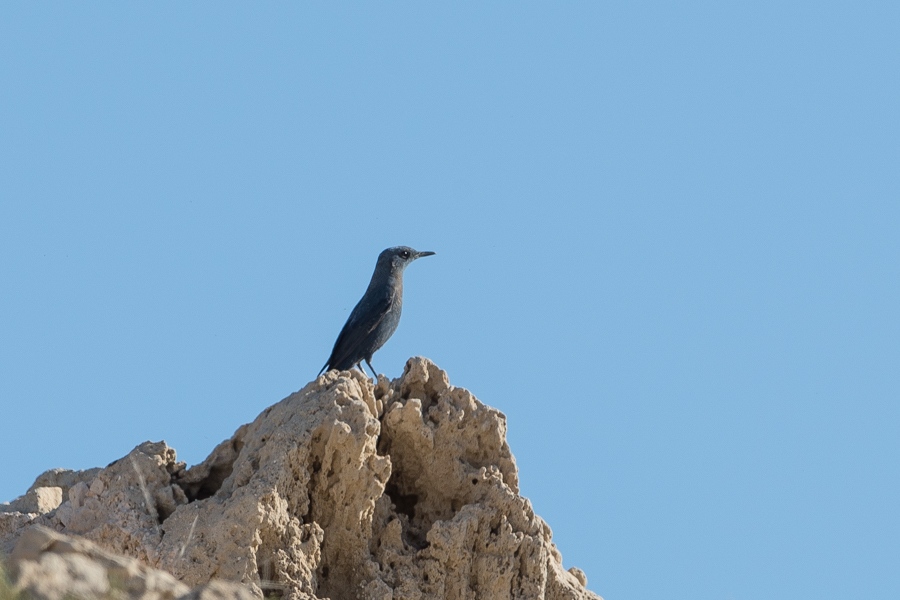 Blue-rock Thrush