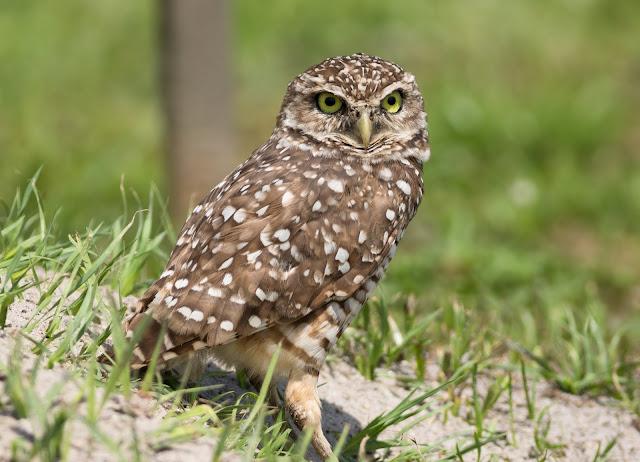 Burrowing Owl - Brian Piccolo Sports Park, Florida