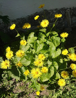 Gullkorg, Doronium columnae