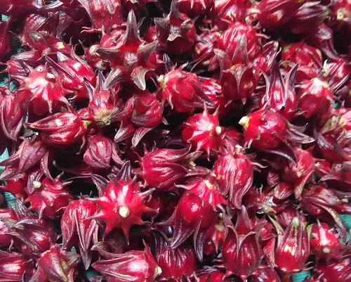 jual bibit rosela / rosella murah - Ayo-Berkebun