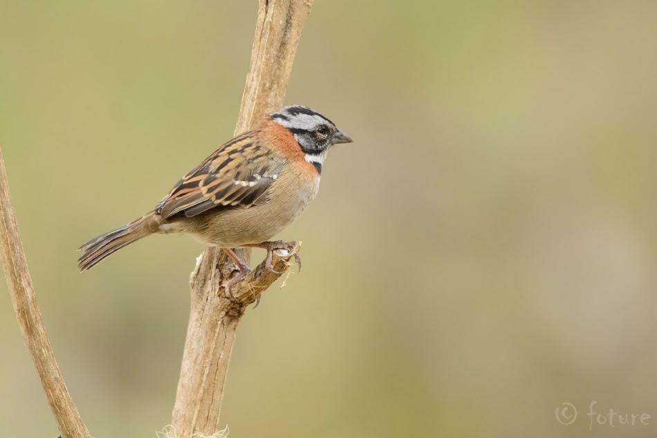 Aedsidrik, Zonotrichia capensis, Rufous-collared Sparrow, sidrik