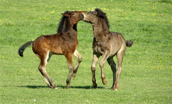 image of baby horses playing in a field