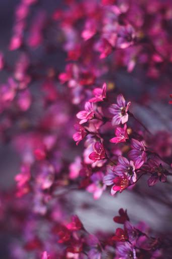 pink flowers macro wallpaper