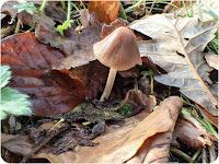 Conical Brittlestem, Parasola conopilus