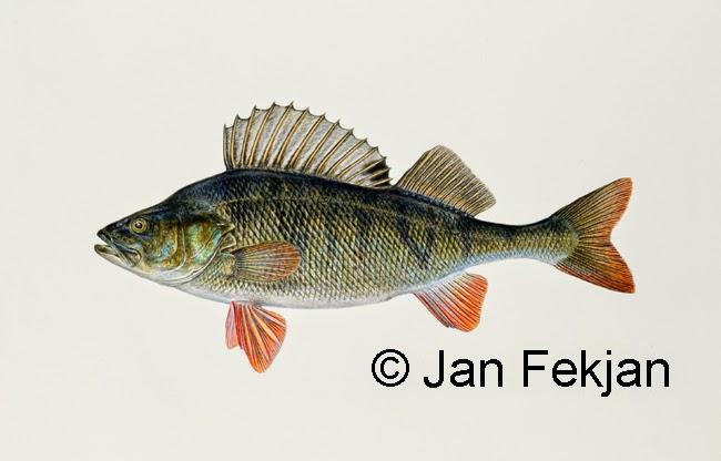 Bilde av digigrafiet 'Tryte (abbor)'. Digitalt trykk laget på bakgrunn av et maleri av en fisk. Illustrasjon av abbor, Perca fluviatilis. Hovedmotivet er ferskvannsfisken abbor mot en nøytral hvit bakgrunn. Bildet er i breddeformat.
