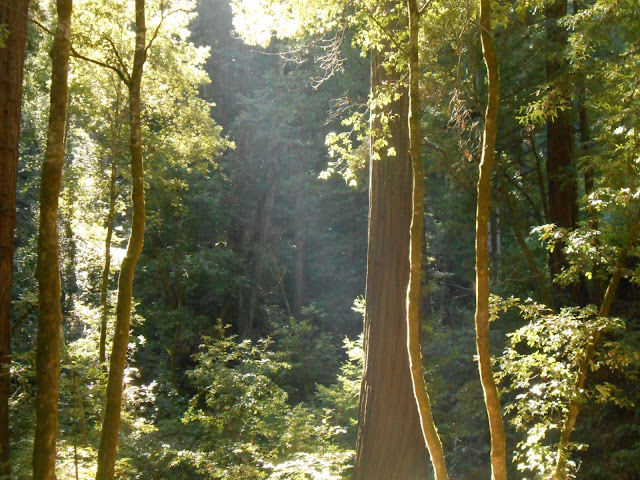 redwood trees, tree community