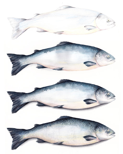 Salmon Food Illustration