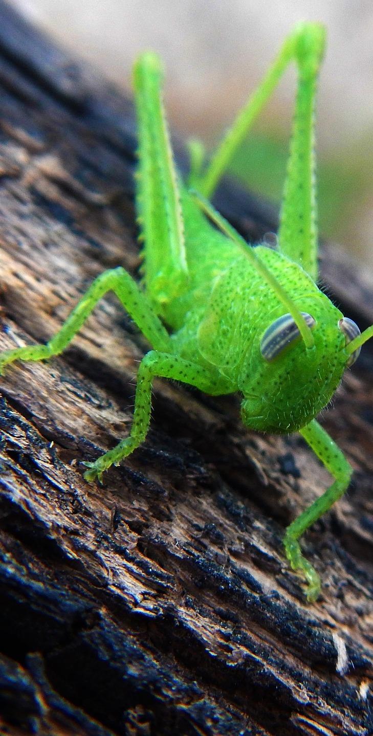 A green grasshopper.