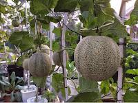Cara Budidaya Melon Hidroponik dengan Sistem Dutch Bucket