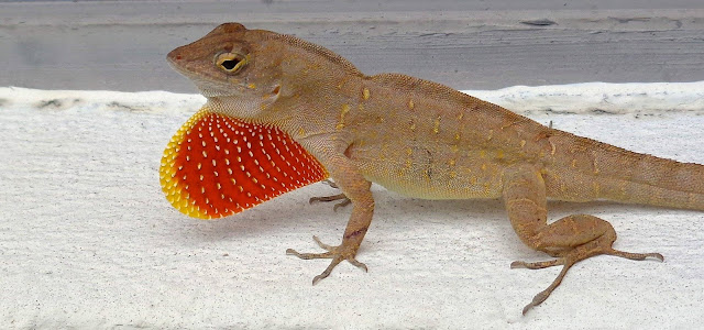 Brown anole and his colorful dewlap