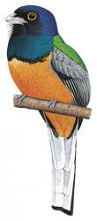 Northern Surucua Trogon