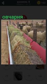помещение овчарни с овцами и корм разложен