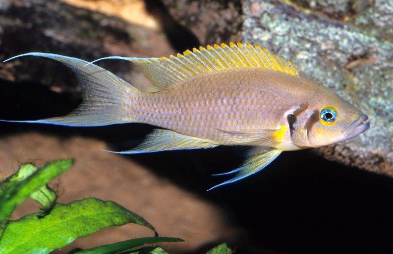 Gambar 9 Jenis Ikan Cichlid Afrika Dari Danau Tanganyika-Five-Bar Cichlid ( Neolamprologus brichardi )