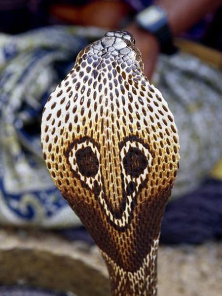 งูเห่าแผ่แม่เบี้ย (The Spectacled Cobra)