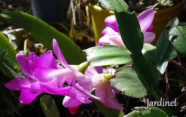 Adubação na flor-de-maio