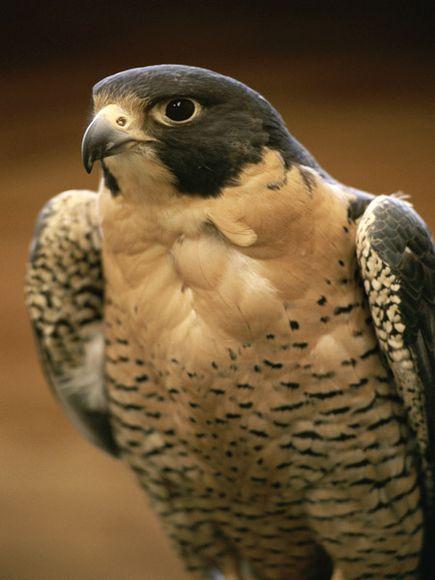 Falcon atau elang merupakan merupakan burung pemangsa yang ahli menangkap mangsa bahkan  Peregrine falcon, Burung dengan Penglihatan paling Tajam di Dunia