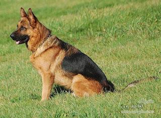 صور كلاب بوليسية دفاعية