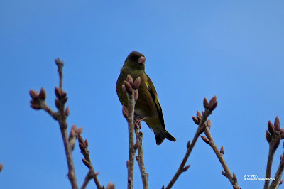 カワラヒワ ≪Oriental Greenfinch≫