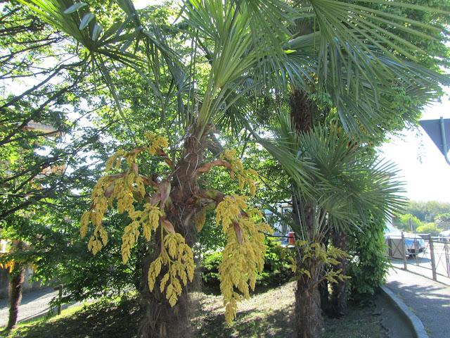 Fioritura Trachycarpus fortunei