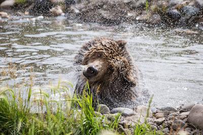 oso se sacude, sacudir el manto,
