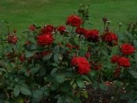 गमले में खिले गुलाब