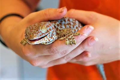 domesticar gecko tokay