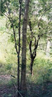kayu cendana pengerek