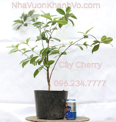 Cung cấp cây Cherry giá rẻ, chất lượng tốt