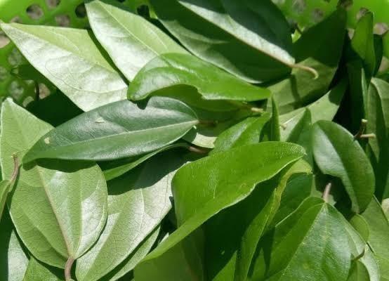 Manfaat dari mengkonsumsi daun cincau