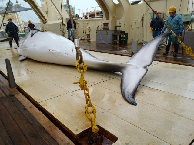 Japan whale hunt kills 122 pregnant minkes