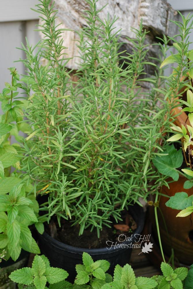 Tomatoes, Basil and Rosemary - Oak Hill Homestead