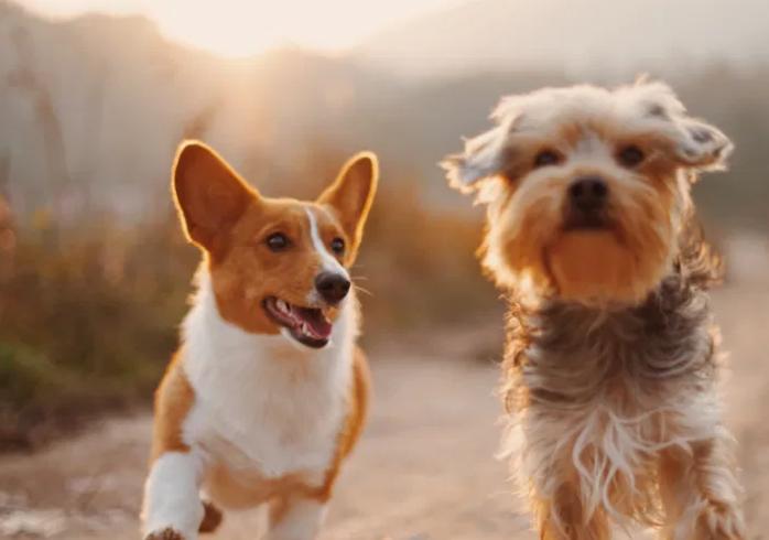 Chihuahua Lifespan,