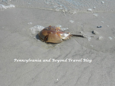 Horseshoe Crabs on the Beach in Wildwood New Jersey